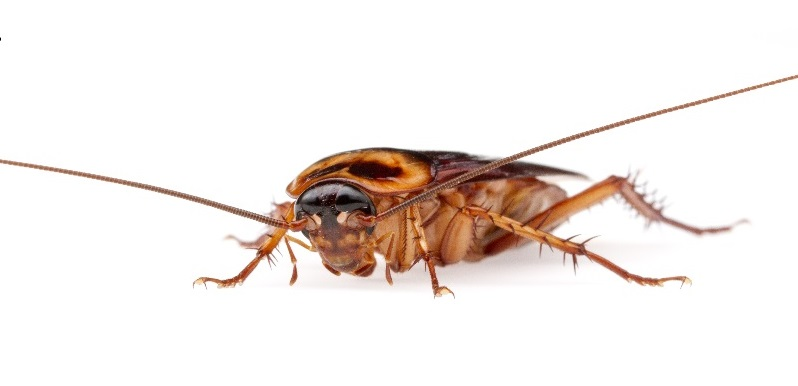 How to Kill American Cockroaches Naturally Get Rid of In A Week - baby american cockroaches