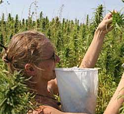Cannabisseeds.com