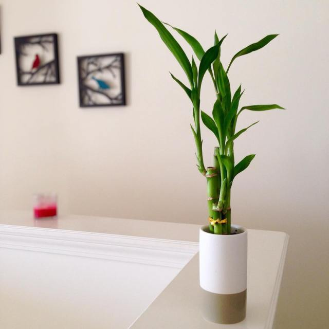 lucky bamboo and candle
