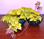 Sweet Potato Vines Indoors