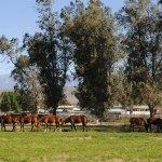 pasturehorses
