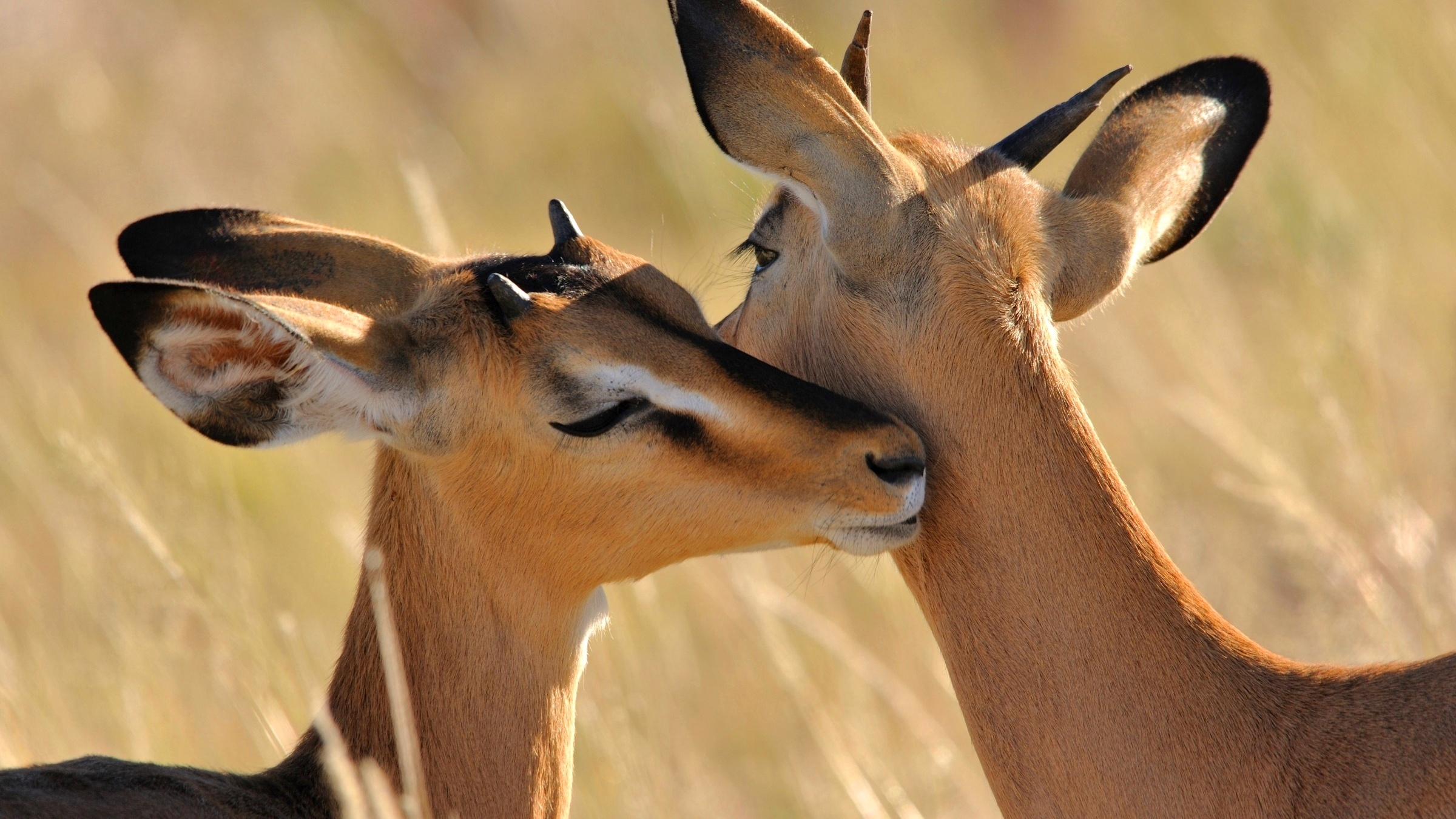Ultra Hd Desktop Wallpapers Cute Antelope Wallpapers 2400x1350 945741