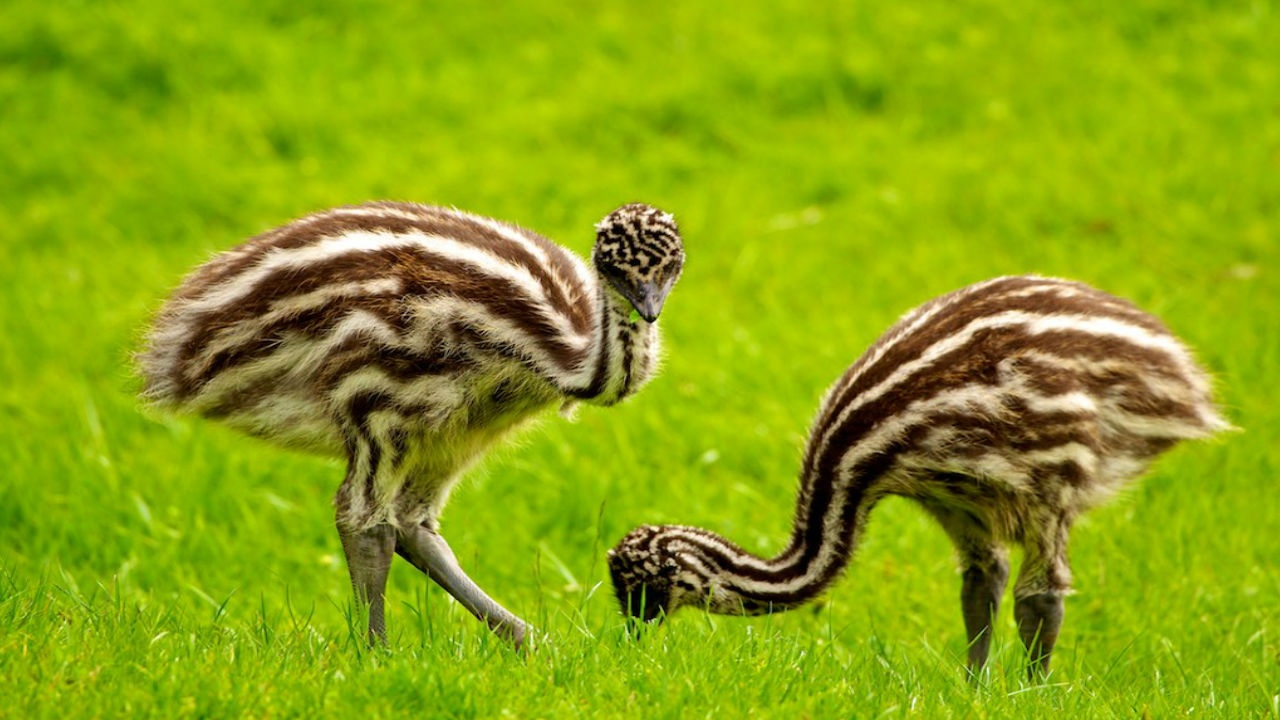 Cute Background Wallpaper Download Cute Emu Truth Wallpapers 1280x720 242327