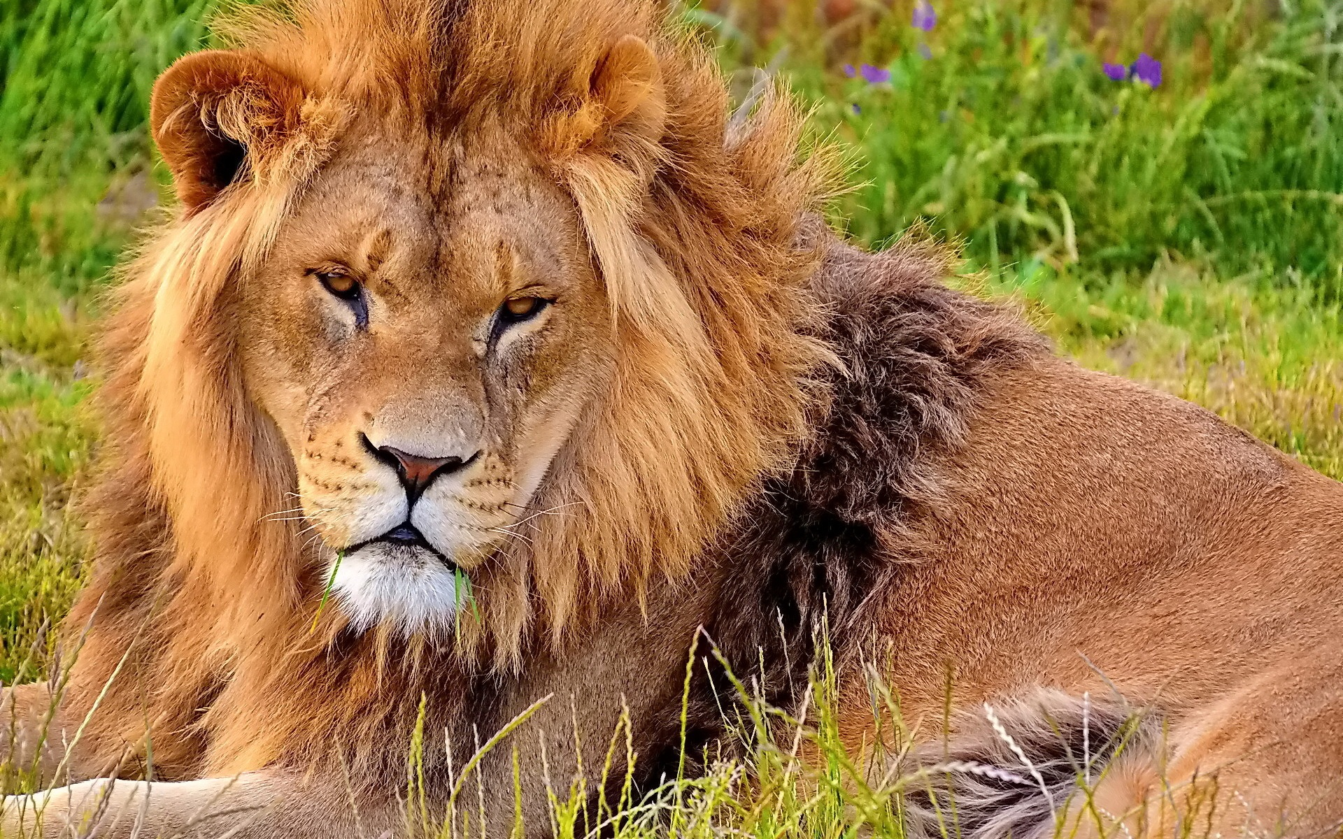 Angry Lion Wallpaper Hd 1080p Lion In Flower Field Wallpapers 1920x1200 1230238