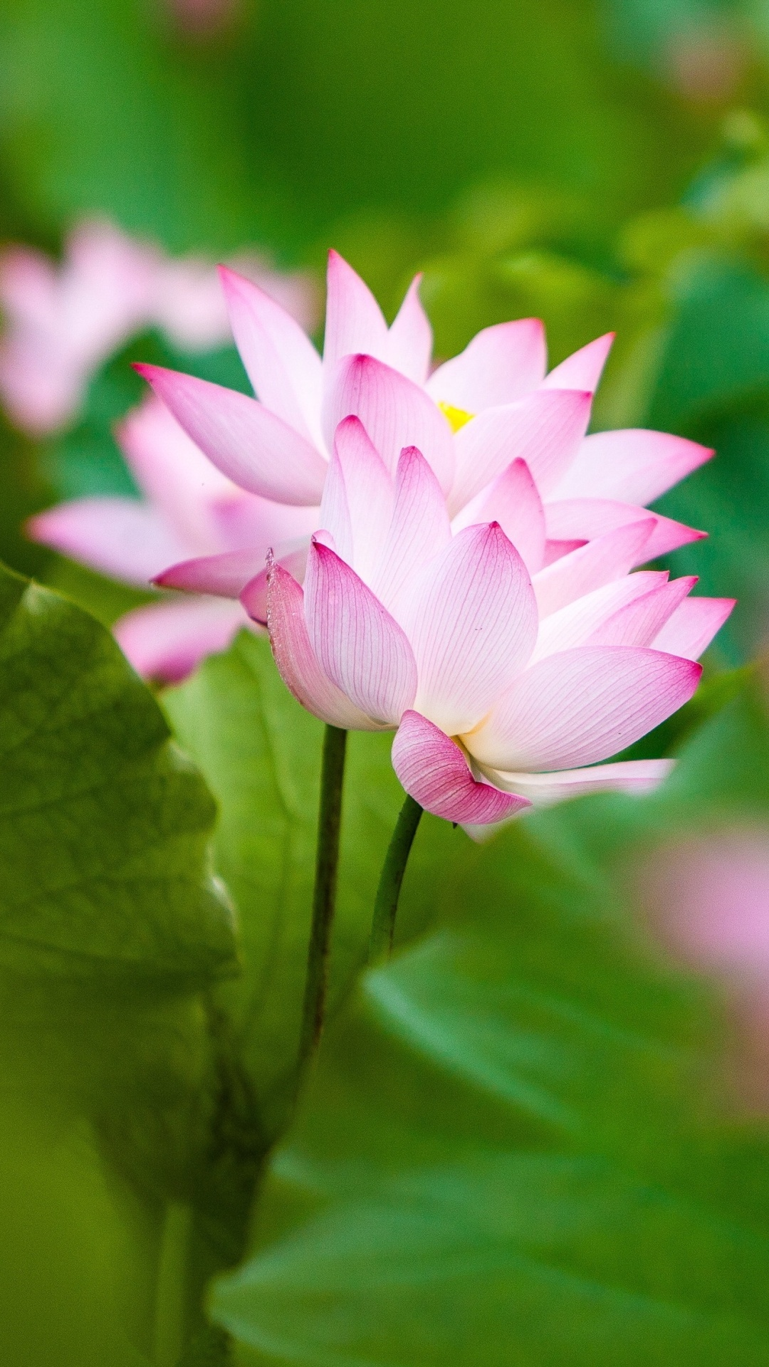 Twol pink lotus flowers and leaves wallpapers 1080x1920
