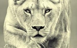 Fire Lion Hd Wallpaper Iphone Hd Wallpapers Free Wallpaper Downloads Iphone Hd