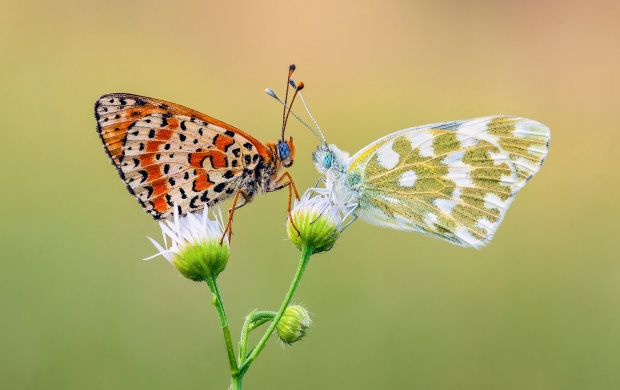 Live Animated Wallpapers For Windows 7 Free Download Full Version Two Butterfly Romance Wallpapers