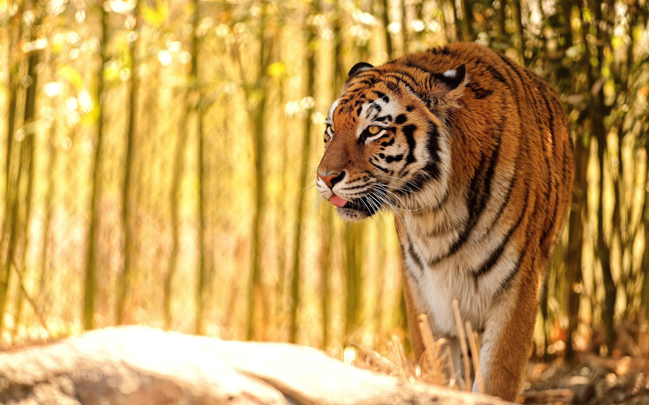 Cool 3d Wallpapers For Walls Tiger In The Corner Wallpapers 2560x1600 1587868