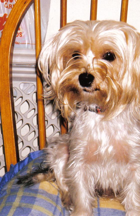 Tattoo Iphone 6 Wallpaper Gallery Yorkshire Terrier White