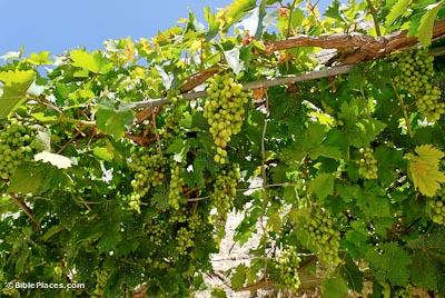 Black Trellis Wallpaper Grapevines And Vineyards Bibleplaces Com