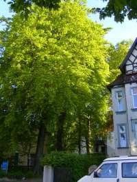 Bielefelder Bume  Blog Archive  Buchen, Luisenstr./Karlstr.