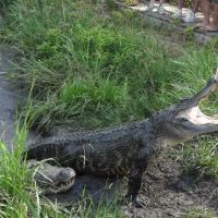 Beyond the Beltway: Crocodile Encounter