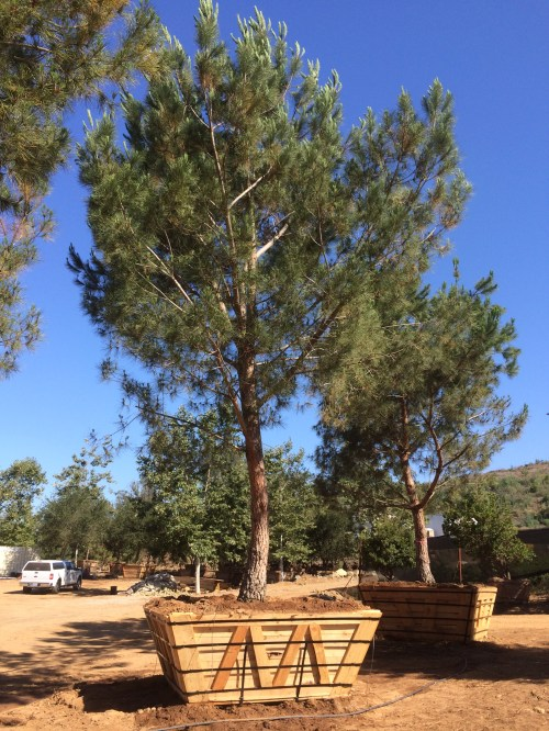 Medium Of Italian Stone Pine