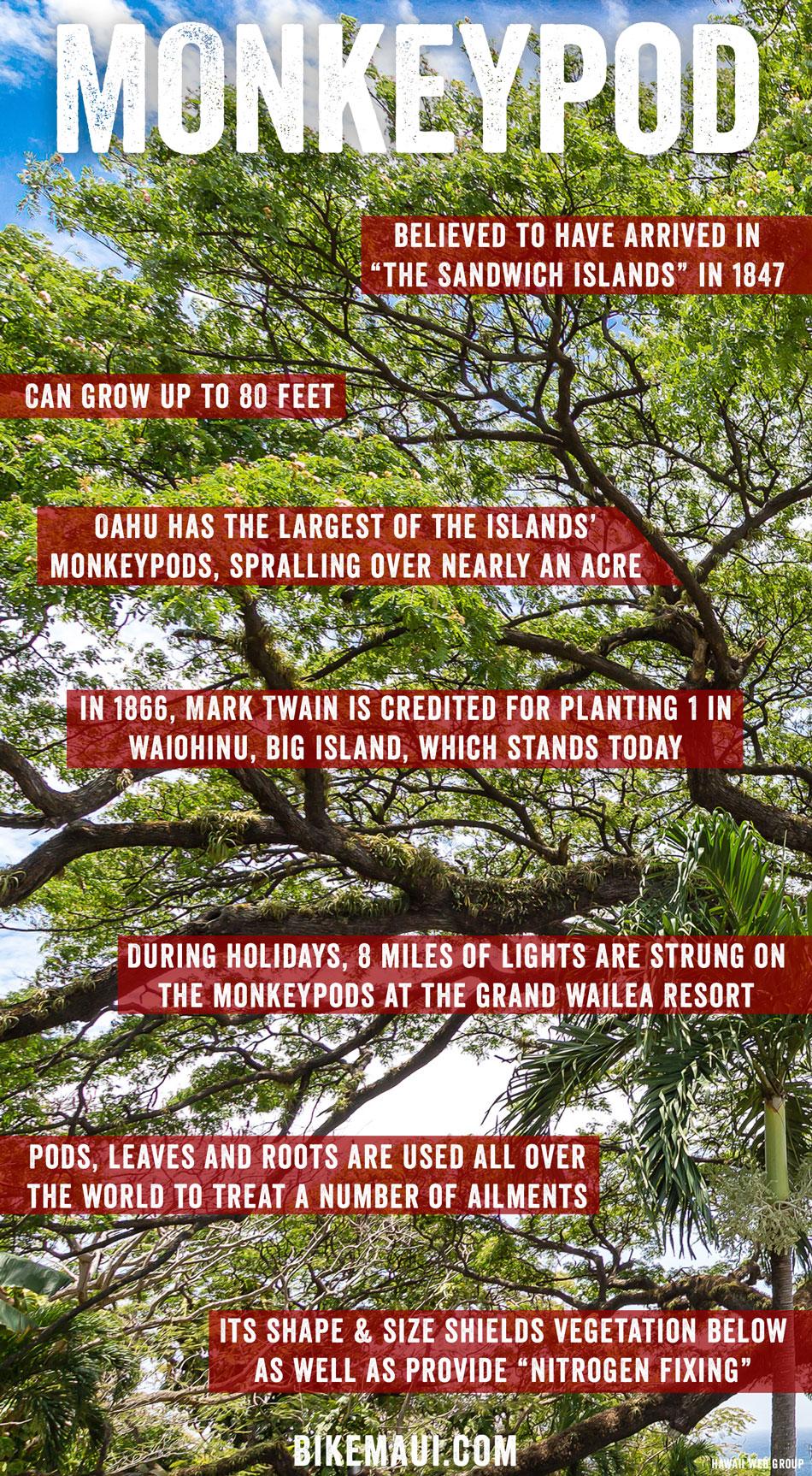 Fullsize Of Monkey Pod Tree
