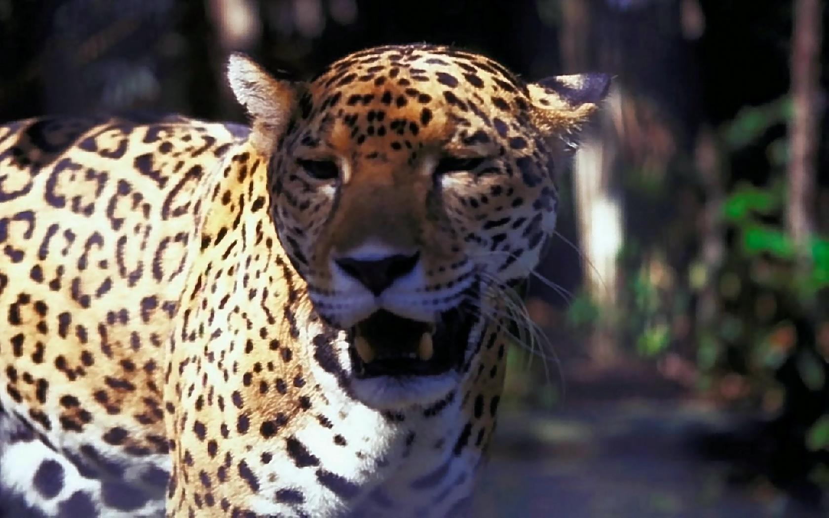 Animal Desktop Wallpaper Bilder Panther