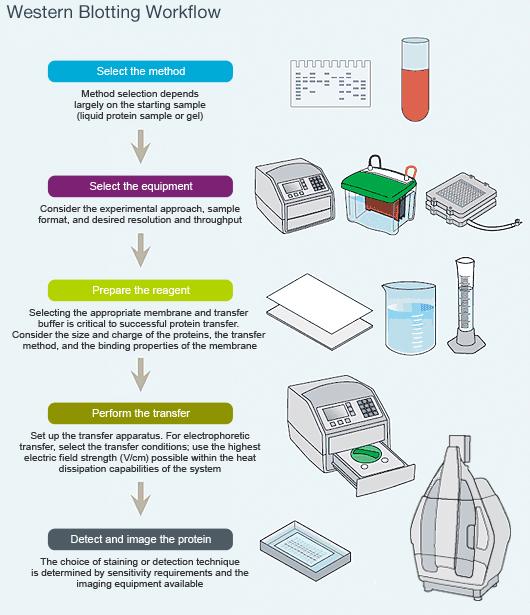 Introduction to Western Blotting LSR Bio-Rad