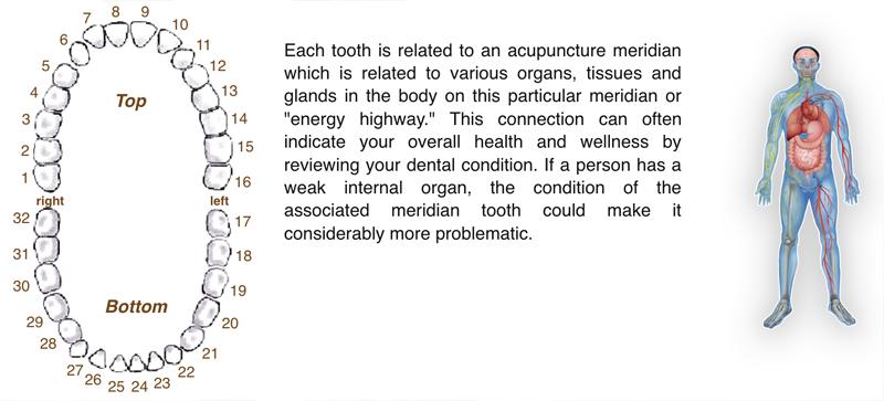 Meridian Tooth Chart The Relationship Between Teeth  Vital Organs