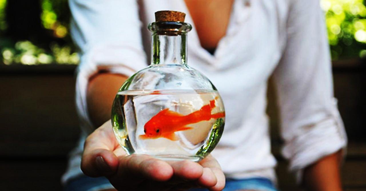 Pesci rossi regalati come bomboniere bioecogeo for Quanto vivono i pesci rossi