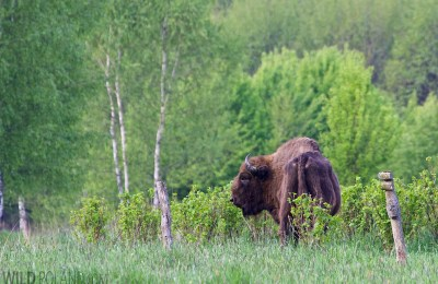 european-bison-bialowieza-forest-poland-14