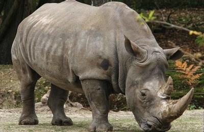 Rinoceronte-intero