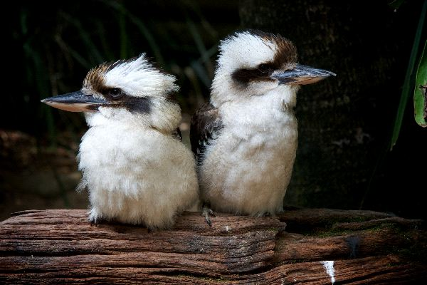 Very Cute Baby Twins Wallpaper Laughing Kookaburra Animal Facts And Information