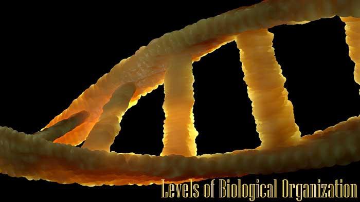Levels of Biological Organization 10 Levels of Organization