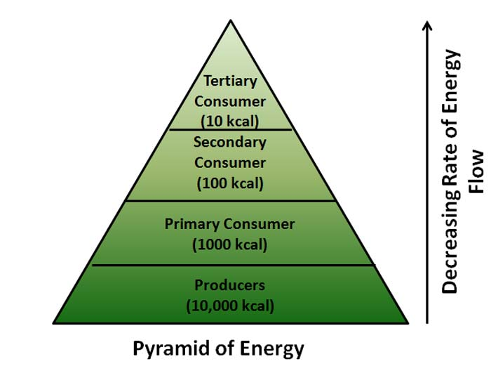 Ecological Pyramid Definition, Number, BioMass, Energy Pyramids