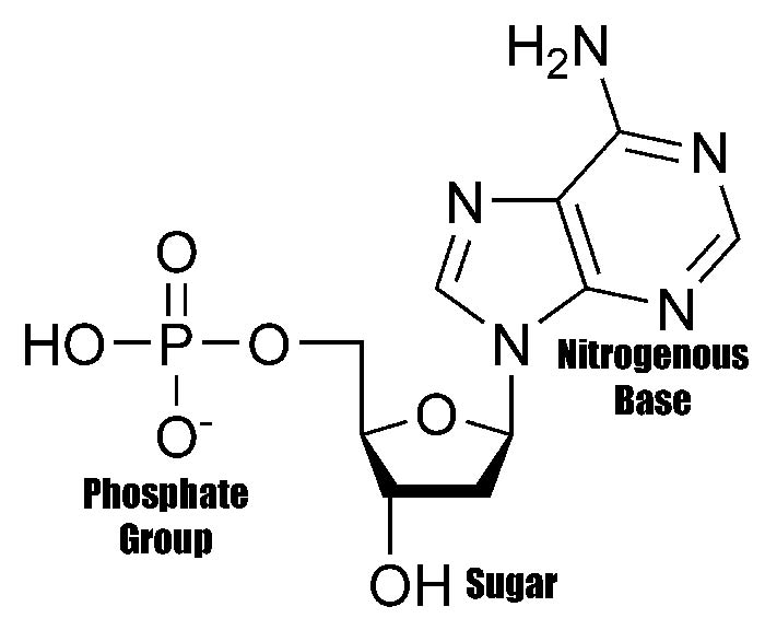 diagram nucliec acids