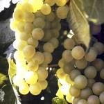 Chardonnay grown in Colorado