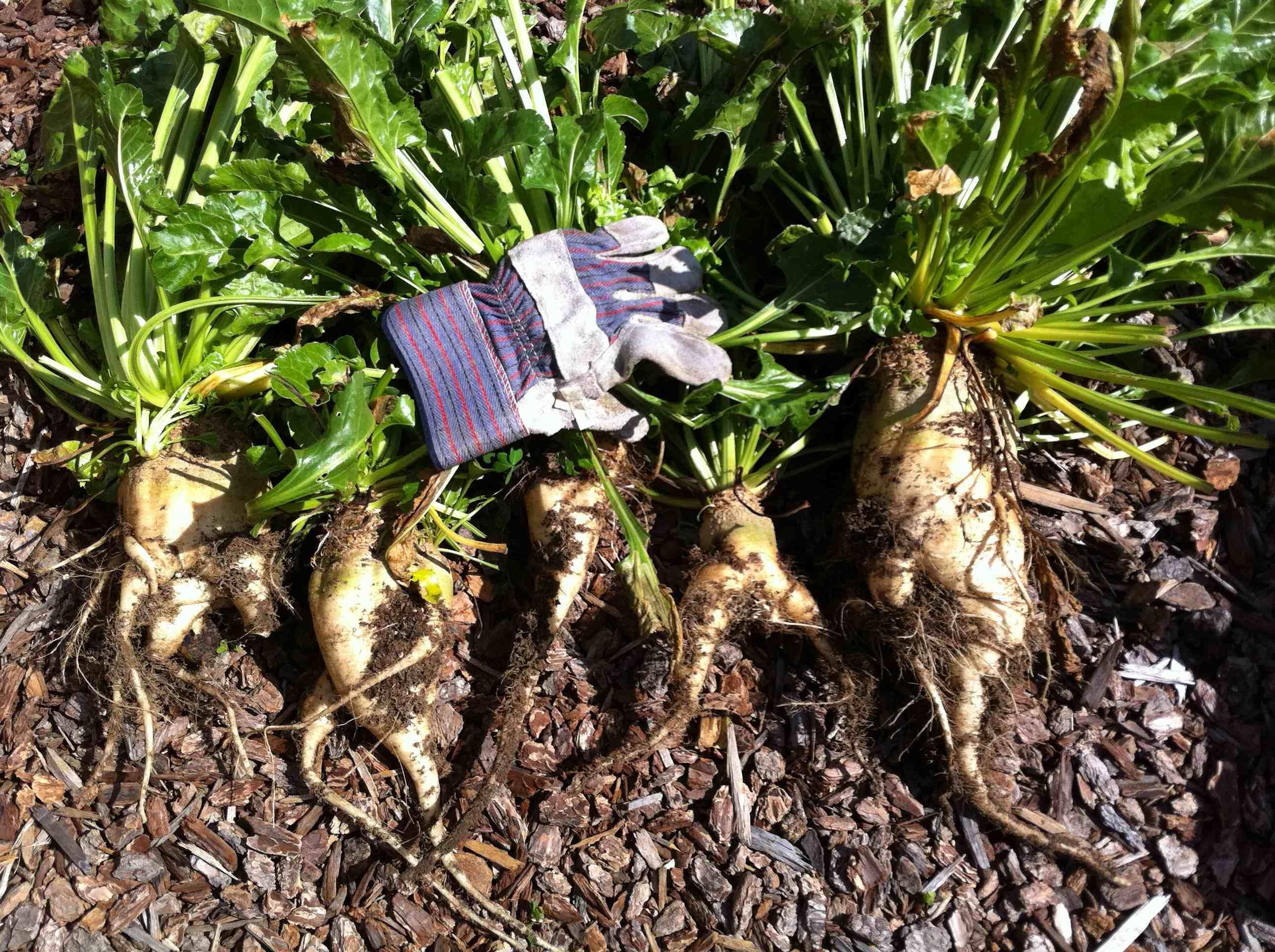 GMO crops vandalized in Oregon