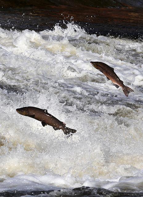 Preventing escape of GMO salmon