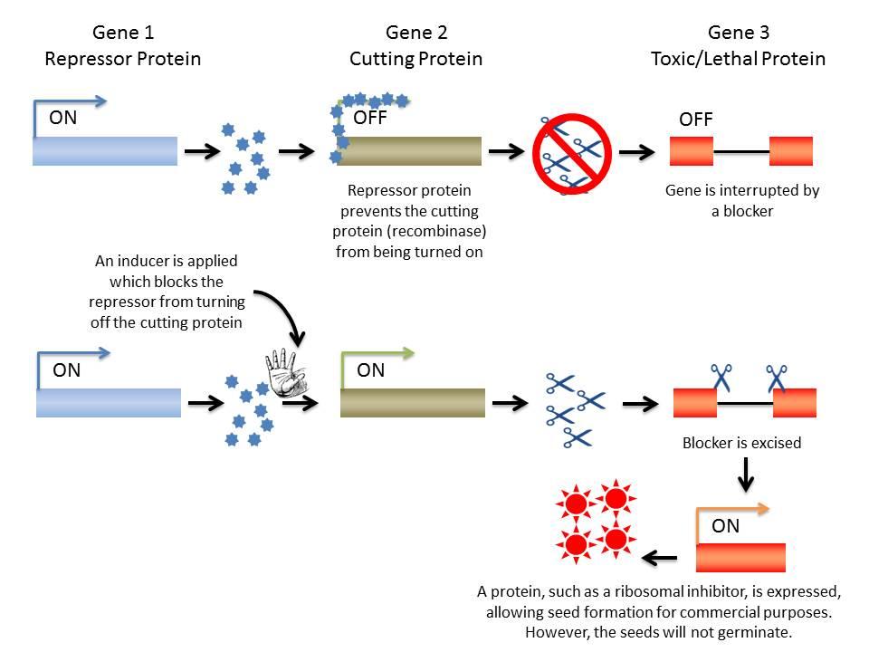 GMOs and Patents: Part 1 – Terminator Genes