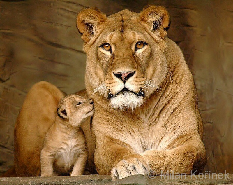 Cute Tiger Cubs Wallpapers Image Panthera Leo Leo Barbary Lion Biolib Cz