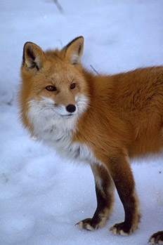 Fox Animal Wallpaper Sierra Nevada Red Fox Put On Waiting List For Endangered