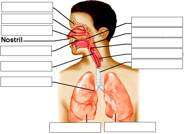Notes Respiratory System