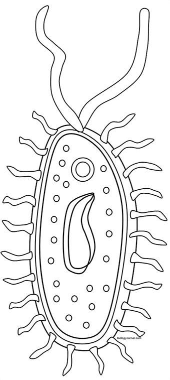 streptococcal bacteria reproduction diagram