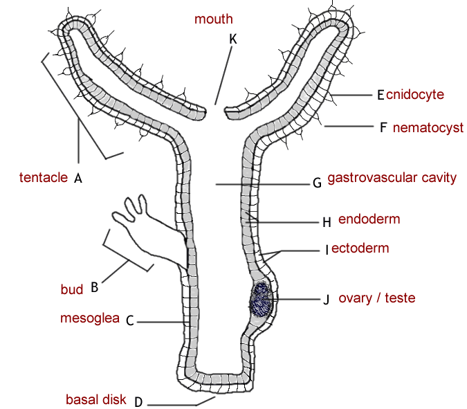 hydra anatomy diagram tutorvista answers