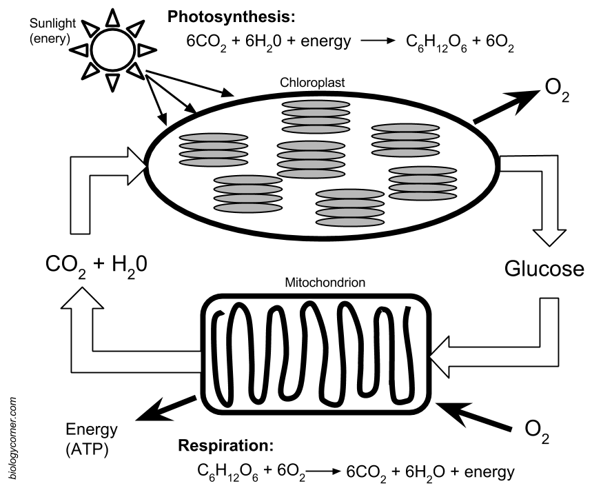 Cell Energy Photosynthesis Diagram