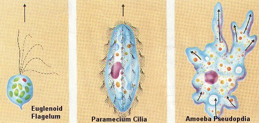 protozoan notes b1 - - protista examples