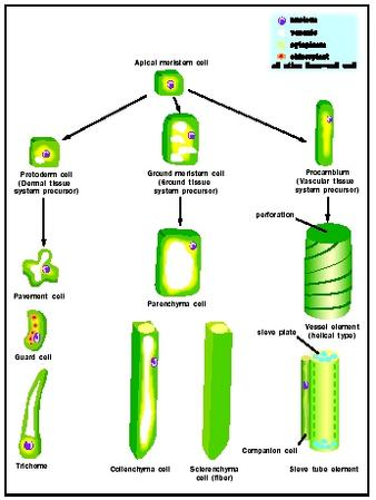 Differentiation in Plants - Biology Encyclopedia - cells, body