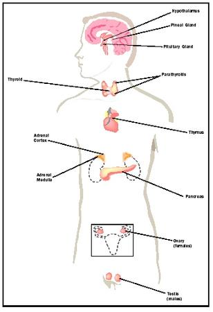 Endocrine System - Biology Encyclopedia - cells, body, examples