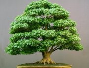 Bonsai Mini-Baum