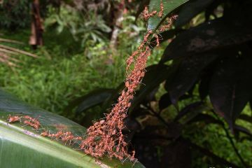 Weaver_Ants_-_Rose Thumboor