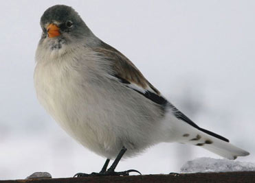 Snowfinch in the Pyrenees, Spain