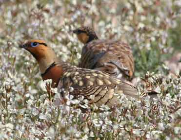 Photo of Pin-tailed Sandgrouse