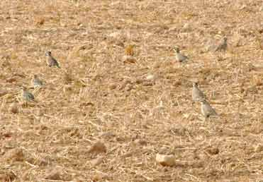 Dotterel in northeast Spain