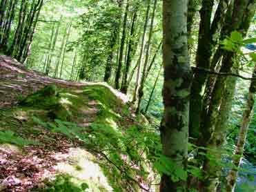 Irati forest