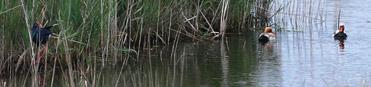 Birding in the Ebro Delta