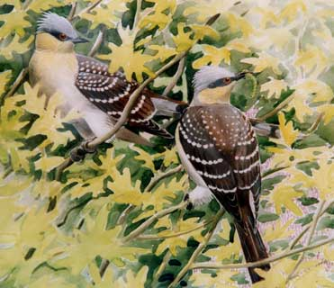 Great Spotted Cuckoos, Clamator glandarius
