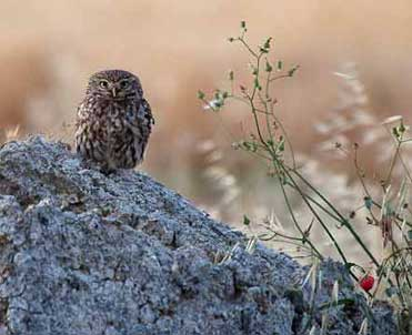 Little Owl, Athene noctua.